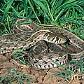 Checkered Garter Snake by Anthony Mercieca