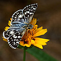 Checkered Skipper Square by Nikolyn McDonald