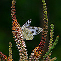 Checkered White On An Indigo by Barbara Bowen