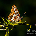 Checkerspot Butterfly by Janis Knight