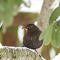 Cheeky Blackbird by Simon Gregory