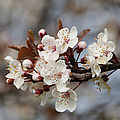 Cheerful Cherry Blossoms by Marilyn Wilson