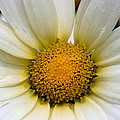Cheery Daisy  by Angela Rath