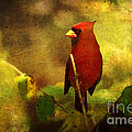 Cheery Red Cardinal  by Lianne Schneider