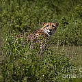 Cheetah   #0095 by J L Woody Wooden