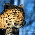 Cheetah Acinonyx Jubatus by Terri Waters