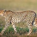 Cheetah Acinonyx Jubatus Walking by Panoramic Images