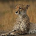 Cheetah by Anja Migliavacca - Doorten