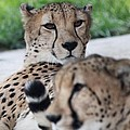 Cheetah Awakening by Dan Sproul
