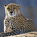 Cheetah by Juli Scalzi