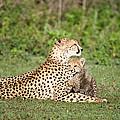 Cheetah Cub Acinonyx Jubatus Playing by Panoramic Images