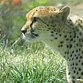 Cheetah by Earl  Eells a