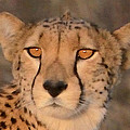 Cheetah Gaze At Sunset by Tom Wurl
