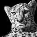 Cheetah In Black And White by Carolyn Fox