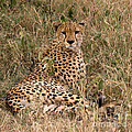 Cheetah In Grass by Chris Scroggins