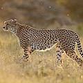 Cheetah In Grassland Kenya by Tui De Roy