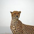 Cheetah In Serengeti. by Tony Murtagh