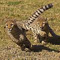 Cheetah Juveniles Playing by San Diego Zoo