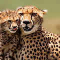 Cheetah Mother And Cub In Masai Mara by Maggy Meyer