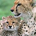 Cheetah Mother And Cub by Yva Momatiuk John Eastcott