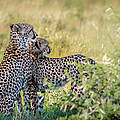 Cheetah Mother And Son by Sylvia J Zarco
