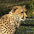 Cheetah by Nathanael Smith