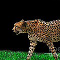 Cheetah On The Prowl by E B Schmidt