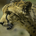 Cheetah On The Prowl by LeeAnn McLaneGoetz McLaneGoetzStudioLLCcom