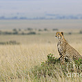 Cheetah Perched On A Mound by John Shaw