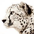 Cheetah by Jacky Gerritsen