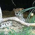 Cheetah Resting  by Lingfai Leung