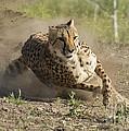 Cheetah Run 2 by Dianne Phelps