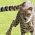 cheetah Running Portrait by William Bitman