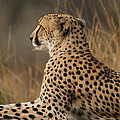 Cheetah South Africa by Anja Migliavacca - Doorten