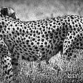 Cheetah Spots by Chris Scroggins