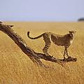 Cheetah Standing On Dead Tree by Gerry Ellis