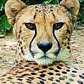 Cheetah Stare L by Dale Crum