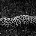Cheetah Stretch by Maggy Marsh