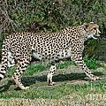 Cheetah Strolling by Anthony Mercieca
