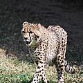 Cheetah Strutting by DejaVu Designs
