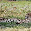 Cheetah by Susan Garren