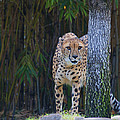 Cheetah Watching by Keith Lovejoy