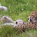 Cheetah With Cubs by Chris Smith