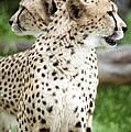 Cheetah's 04 by Pamela Critchlow