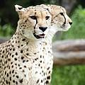 Cheetah's 05 by Pamela Critchlow