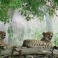 Cheetahs-120 by Gary Gingrich Galleries