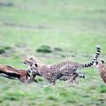 Cheetahs Acinonyx Jubatus Chasing by Animal Images