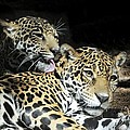 Jaguars Lounging And Licking by Bradford Martin