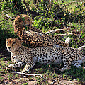 Cheetahs Of The Masai Mara by Aidan Moran