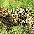 Cheetahs Running by Deborah Benbrook